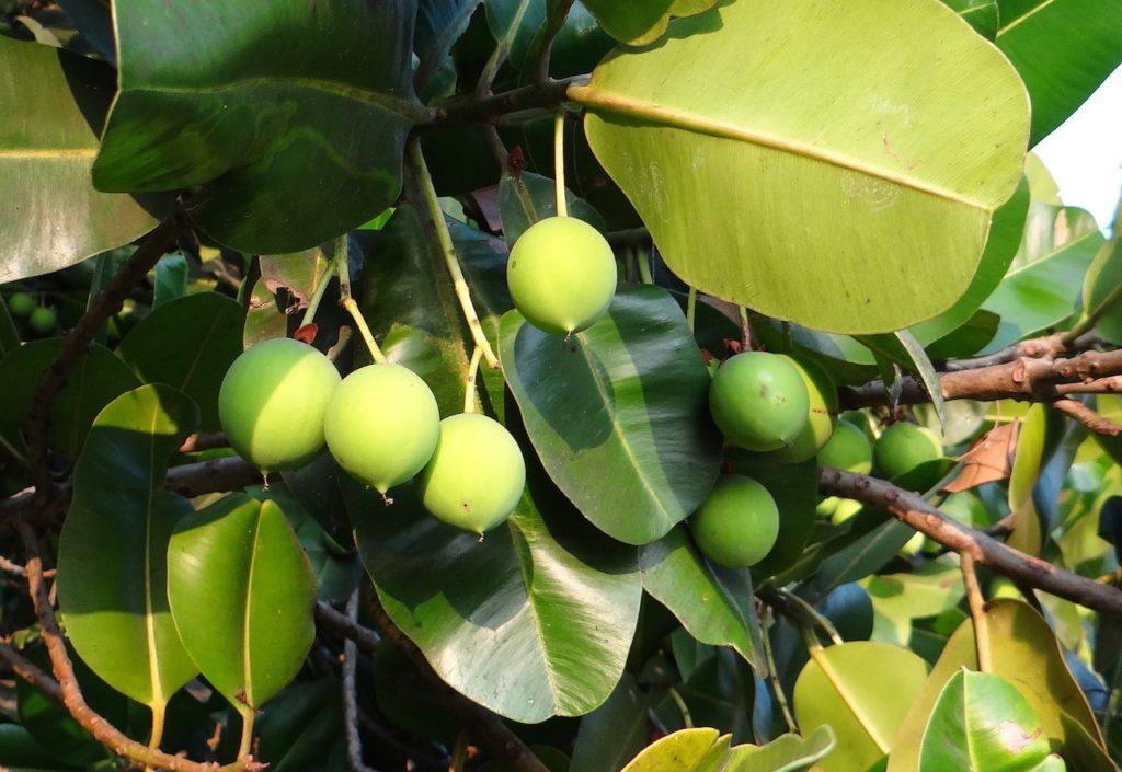 Olej tamanu - drzewo iorzechy