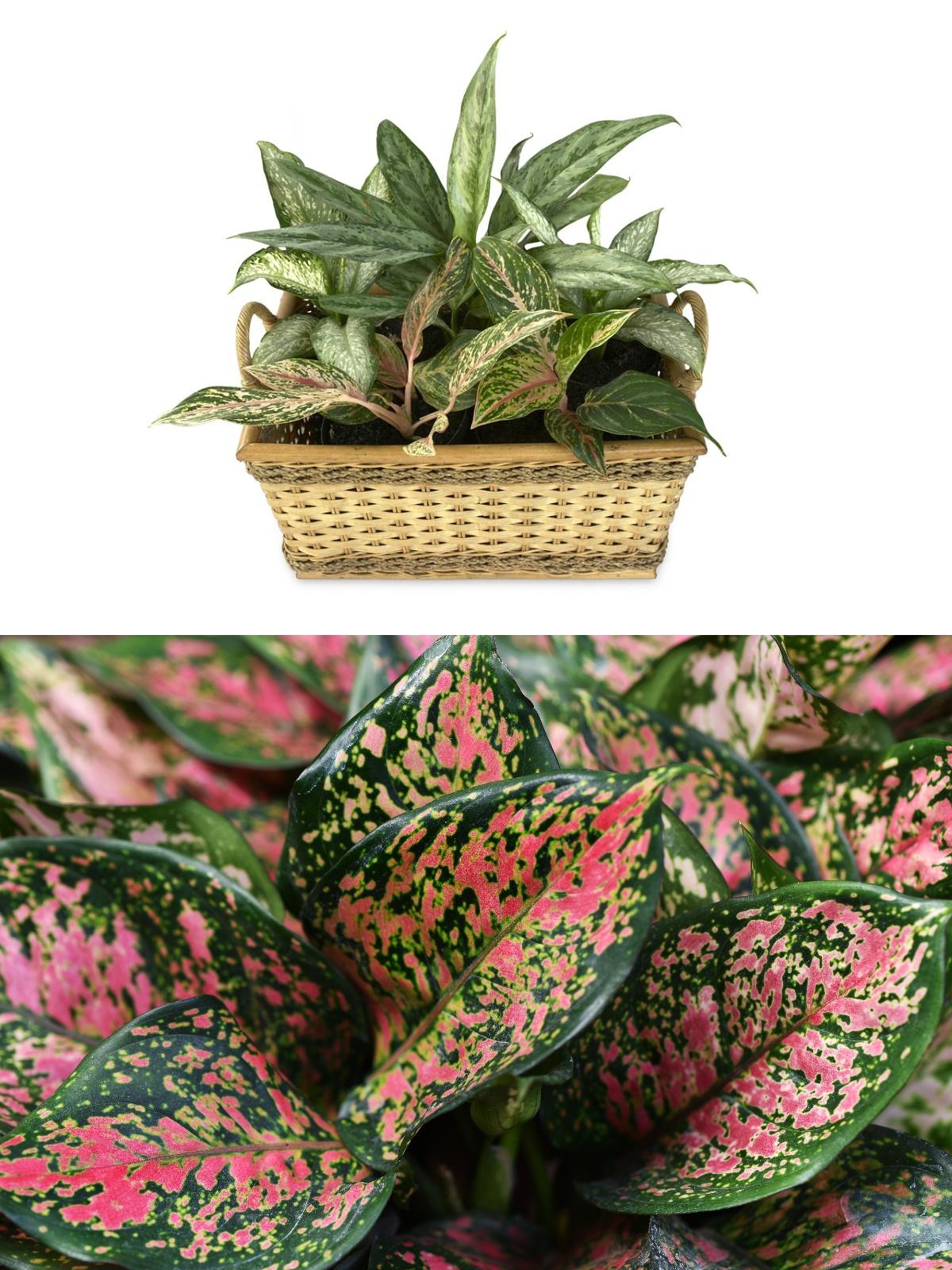 Aglaonema blog rośliny oczyszczające powietrze