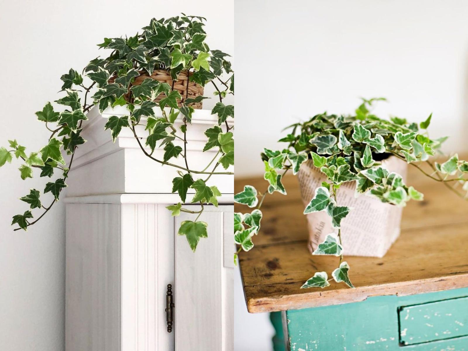 Bluszcz hedera rośliny oczyszczające powietrze