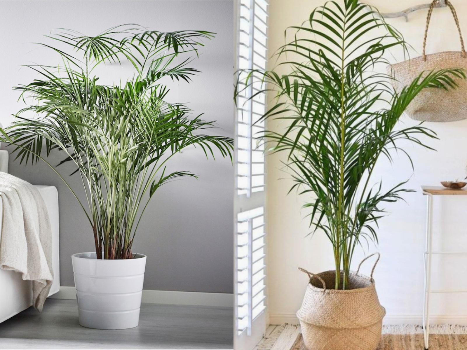 DYPSIS LUTESCENS rośliny oczyszczające powietrze