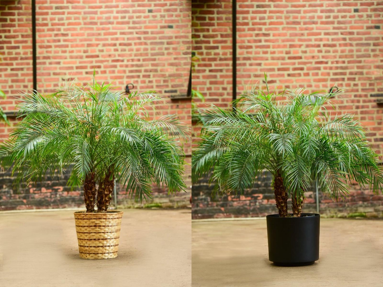 Daktylowiec niski rośliny oczyszczające powietrze