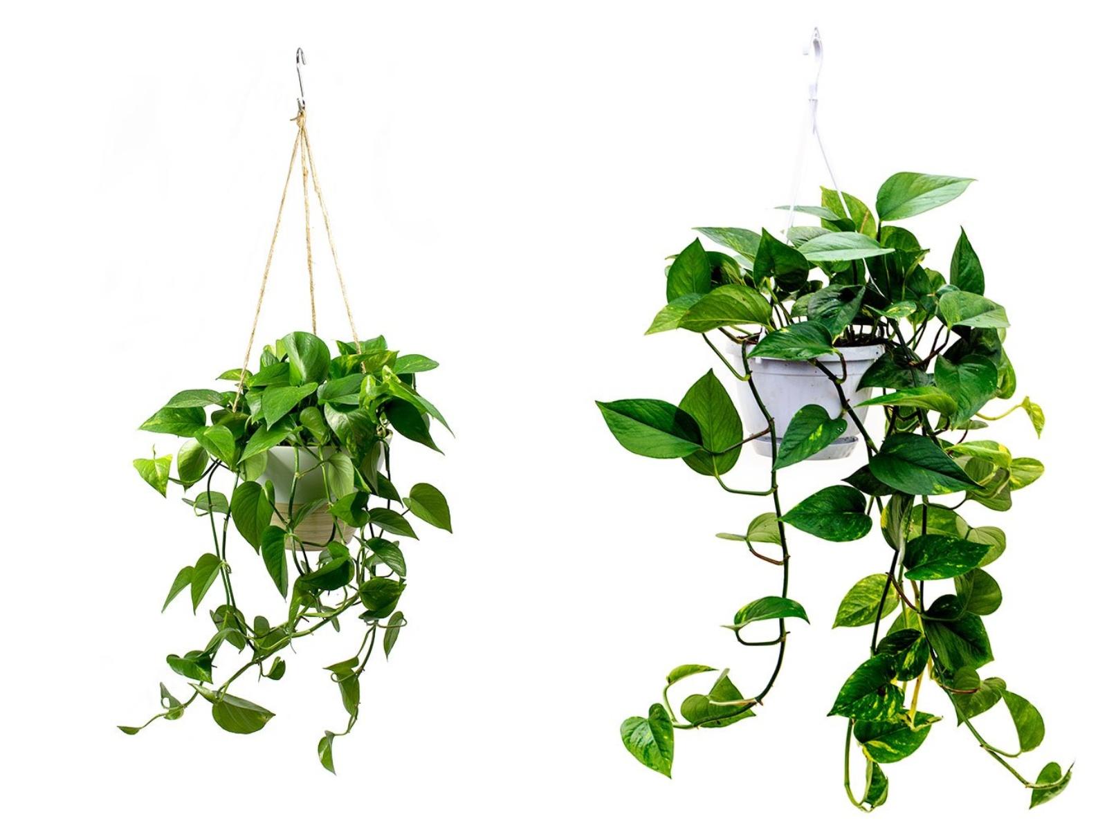 Epipremnum złociste rośliny oczyszczające powietrze