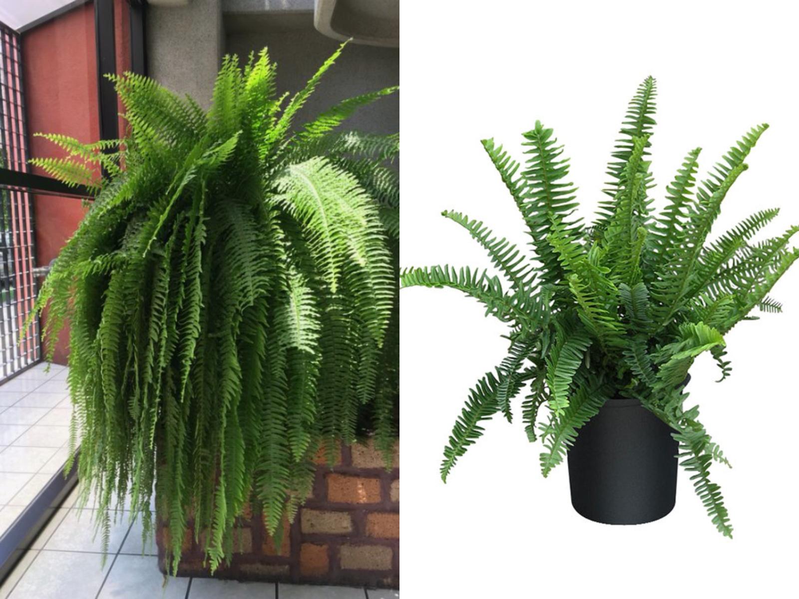 Nefrolepis rośliny oczyszczające powietrze