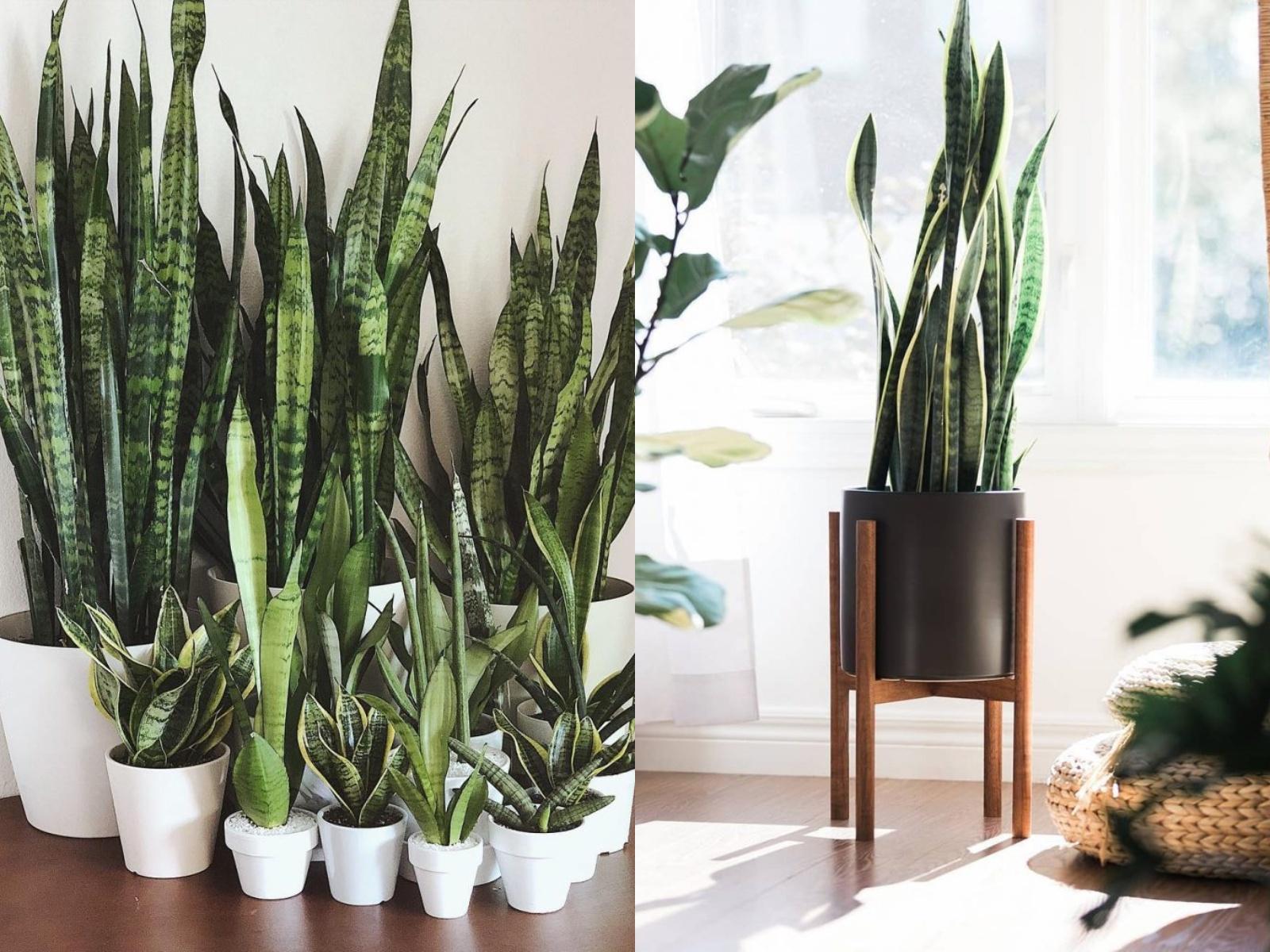 Sansewieria języki teściowej rośliny oczyszczające powietrze